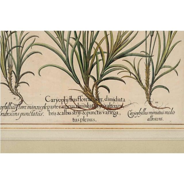 """Illustration Basil Besler """"Caryophyllus Major"""" Botanical Print For Sale - Image 3 of 7"""