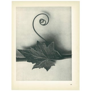 1928 Karl Blossfeldt Original Period Photogravure N49 For Sale