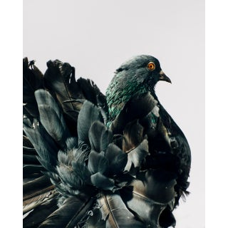 """Contemporary Limited Edition Indian Fantail Pigeon Print by Brendan Burden (32x40"""") For Sale"""