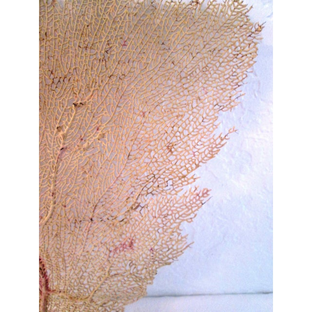Natural Yellow Bahamian Sea Fan For Sale - Image 4 of 5