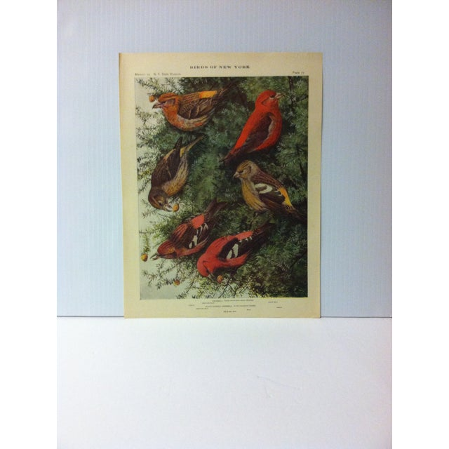 """1925 """"Crossbill"""" the State Museum Birds of New York Print For Sale - Image 4 of 4"""