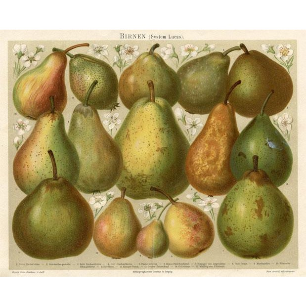 Original chromolithograph from a German encyclopedia. Shown are a a variety of Pears. The legend on the print identifies...