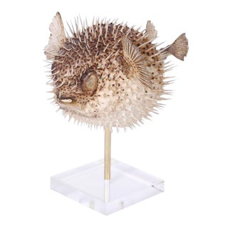 Taxidermy Blowfish on a Stand For Sale