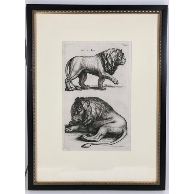 Vintage print of lion etchings by 17th Century Swiss engraver Matthäus Merian. Strong vibrant color and lines. Framed in...