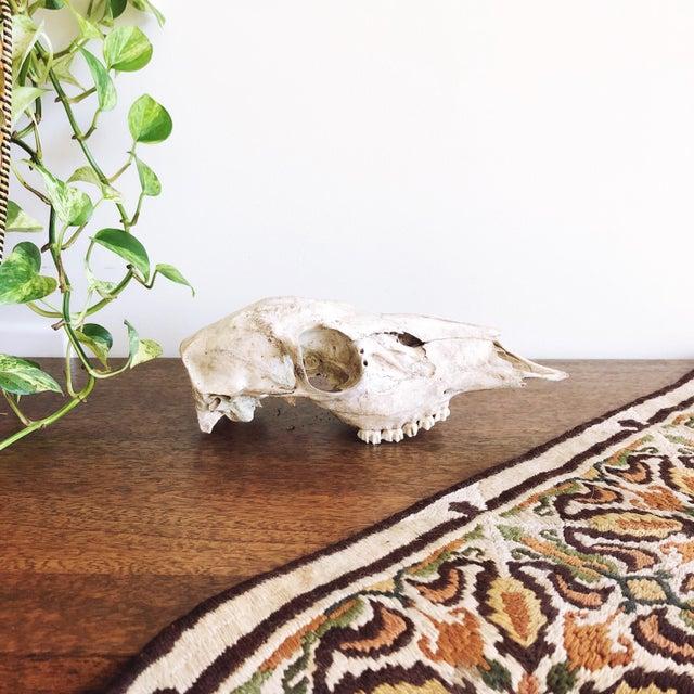 1990s Vintage Texan Deer Skull For Sale - Image 5 of 5