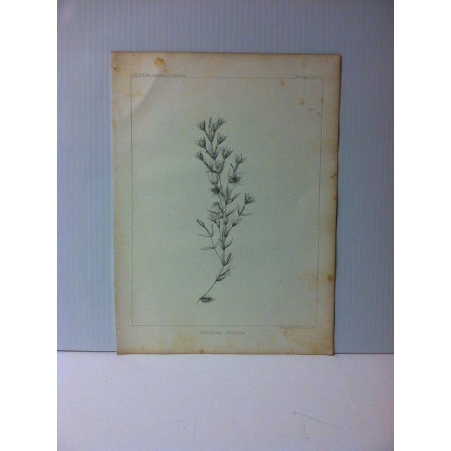 "Antique Botany Lithograph Print on Paper ""Erythraea Tricantha"" 1853 For Sale - Image 4 of 4"
