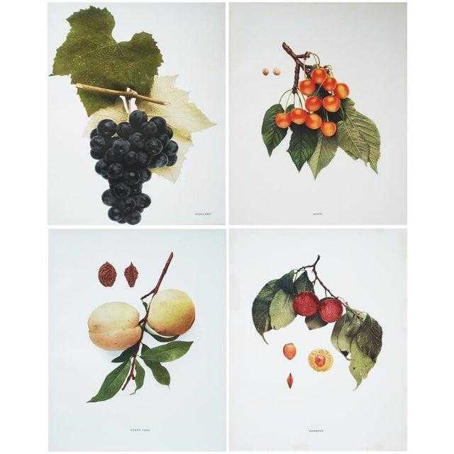 Large Antique Fruit Photoengravings - Set of 4 - Image 7 of 7