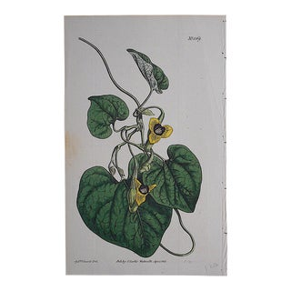 Antique Botanical Engraving c.Early-Mid 1800's For Sale
