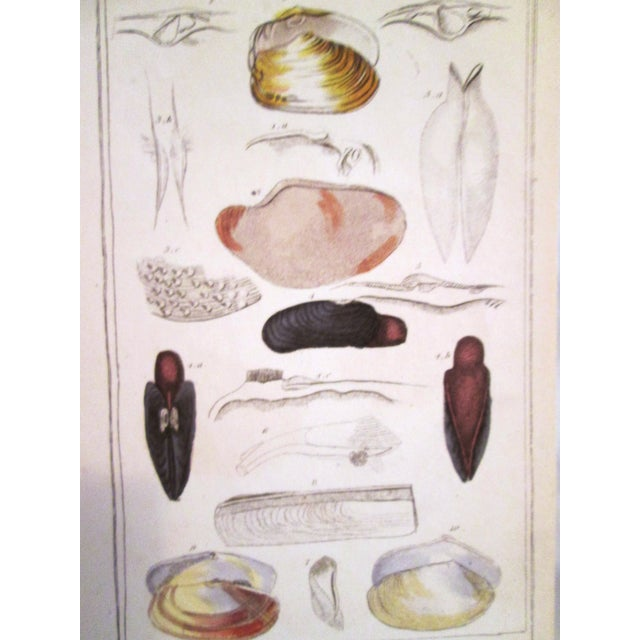 Shell Engravings, C. 1840 - Pair - Image 9 of 11