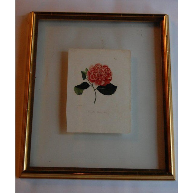 Four J.J. Jung engravings of camellias of Remond published in Paris (1839-1843) and engraved by Oudet. These Jung...