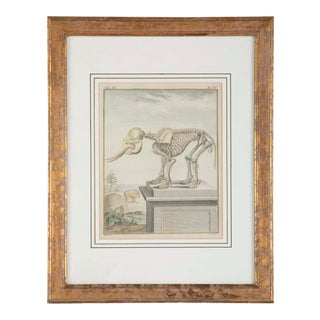 18th Century French Hand Colored Etching of an Elephant Skeleton For Sale