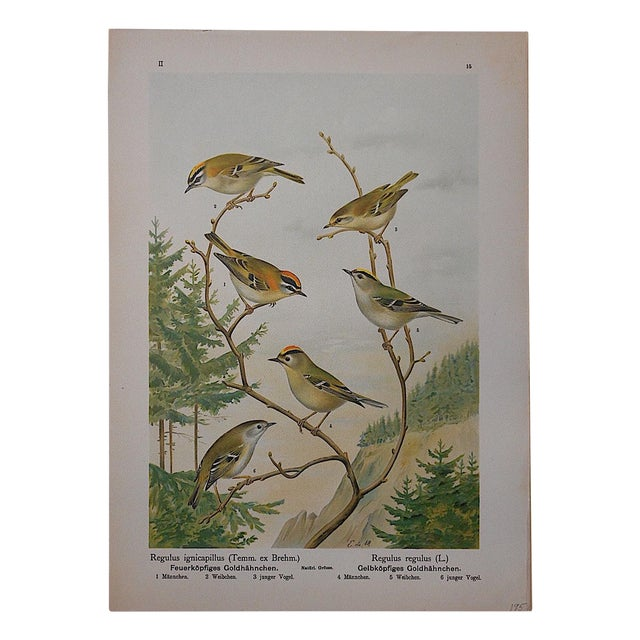 Antique Lithograph - Birds For Sale
