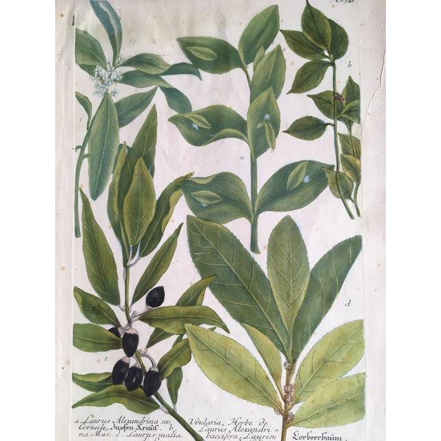 Olive Branches - copper plate engraving no 634 by Johann Wilhelm Weinmann. Dated 1740.
