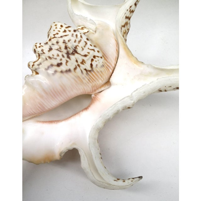 Spider Conch Shell - Image 8 of 9