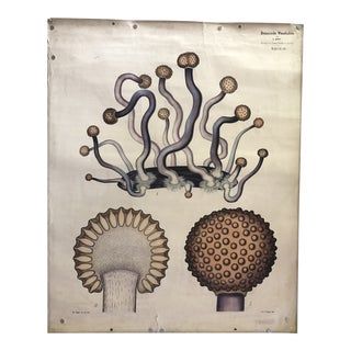 Antique German Botanical Chart - Fungus Salem Witch Trials For Sale