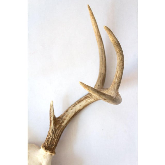 8-Point Whitetail Deer Skull For Sale In Dallas - Image 6 of 10