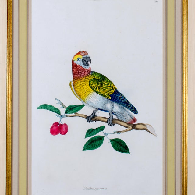 1796 English Traditional John Frederick Miller Parrot Engravings - Set of 4 For Sale - Image 4 of 12