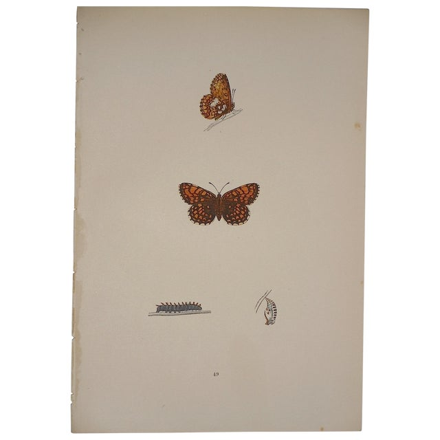 Antique English Butterfly Lithograph - Image 4 of 4