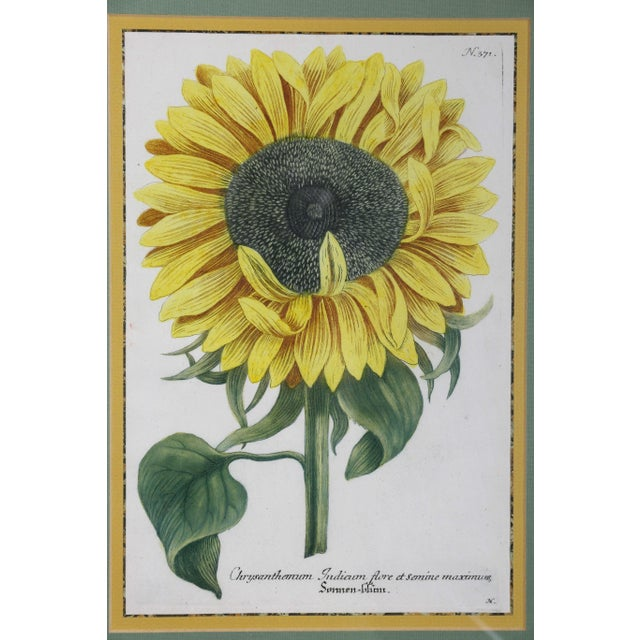 "Late 18th Century ""Sunflowers"" Hand Colored Botanical Engravings - Set of 4 For Sale - Image 5 of 6"