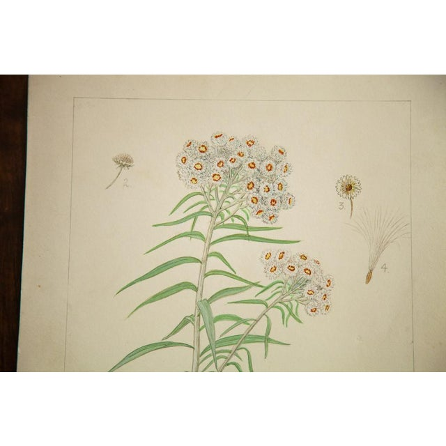 Original watercolor vintage late 1930's to early 1940's illustrating Pearly Everlasting (Anaphalis Margaretacea). This is...