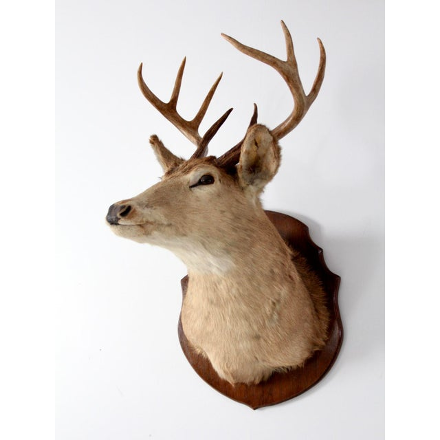 Antique Deer Mount For Sale - Image 4 of 8