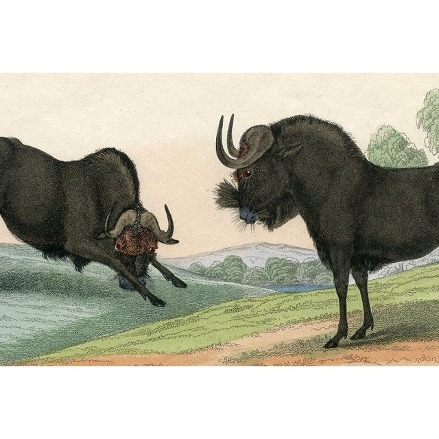 Original hand colored engraving of Gnus, a type of antelope aka Wildebeests, from an 1830s natural history reference...