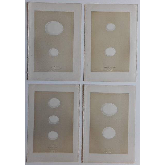Antique Eggs Birds of Prey Lithographs - Set of 4 - Image 3 of 3
