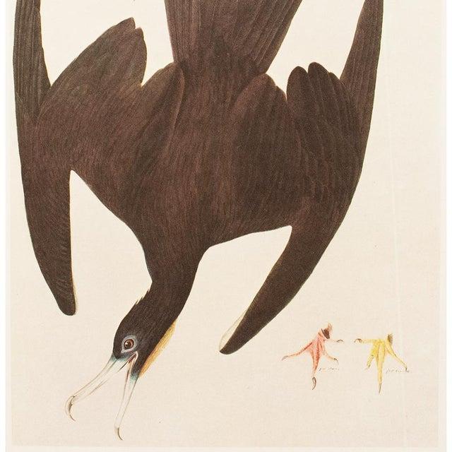 John James Audubon 1966 Cottage Lithograph of Magnificent Friagtebird by Audubon For Sale - Image 4 of 7