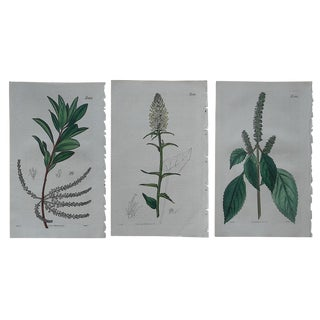 Antique Botanical Engravings - 3 For Sale