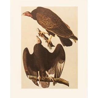 1966 Cottage Vintage Print of Turkey Vulture by Audubon For Sale