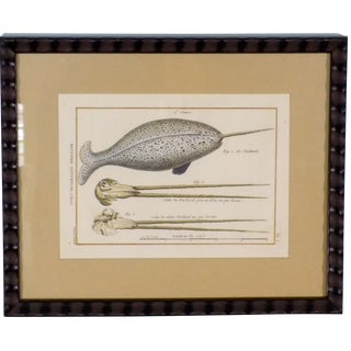 """Narwhal Whale"" Hand Colored Etching"