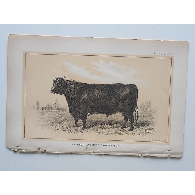 Antique Bull & Cow Lithographs - A Pair - Image 4 of 5