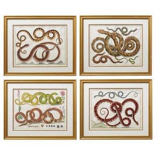 Set of Four Albertus Seba Hand-Colored Snake Prints For Sale