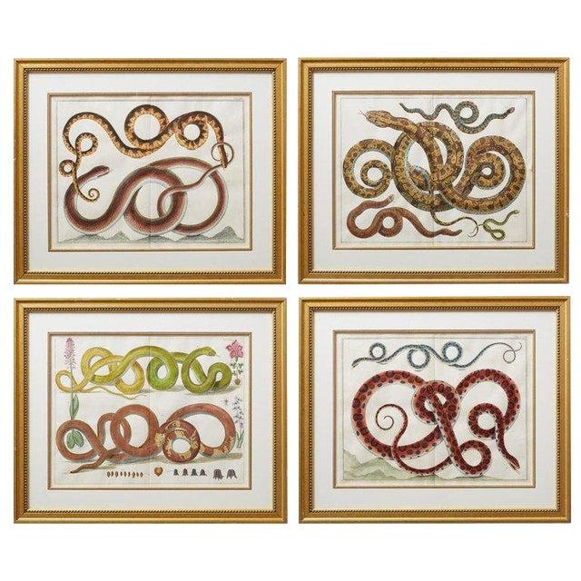 Set of Four Albertus Seba Hand-Colored Snake Prints For Sale