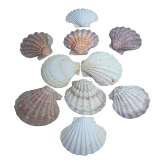 Natural Giant Scallops - Set of 10