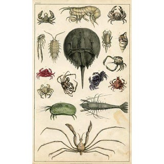 Antique English Crustaceans Print For Sale