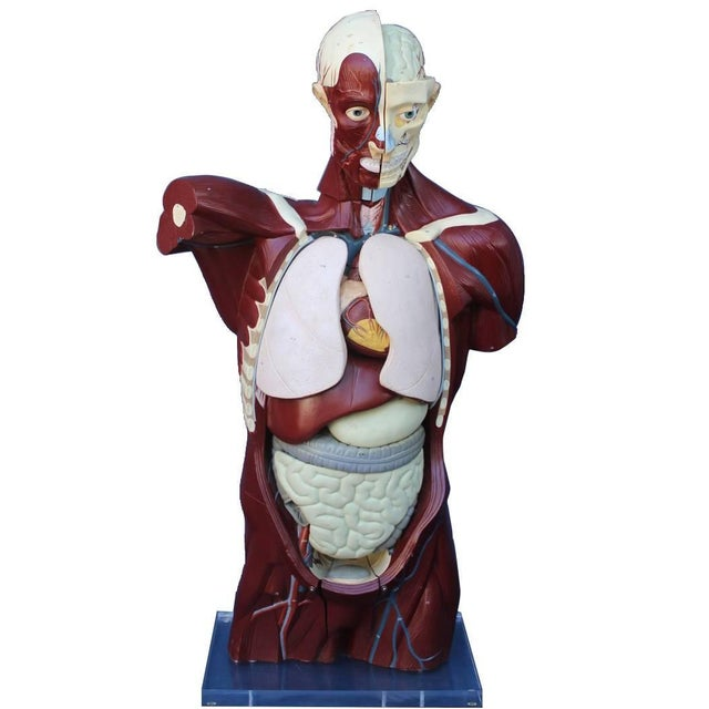 Mid-Century Anatomical Model For Sale - Image 10 of 10