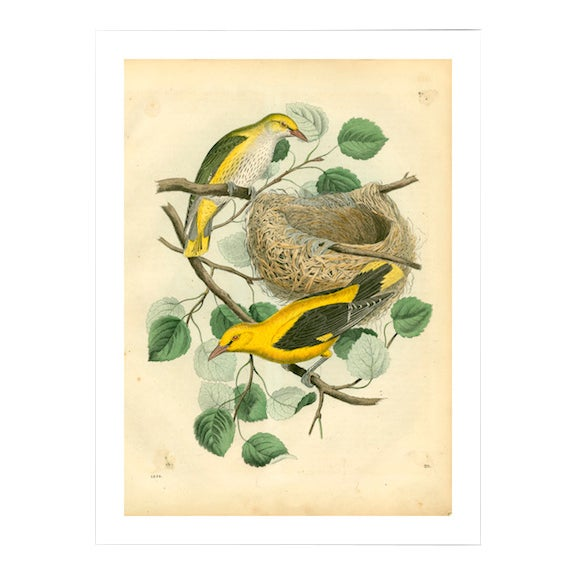 Antique Birds & Nest Archival Print - Image 1 of 4