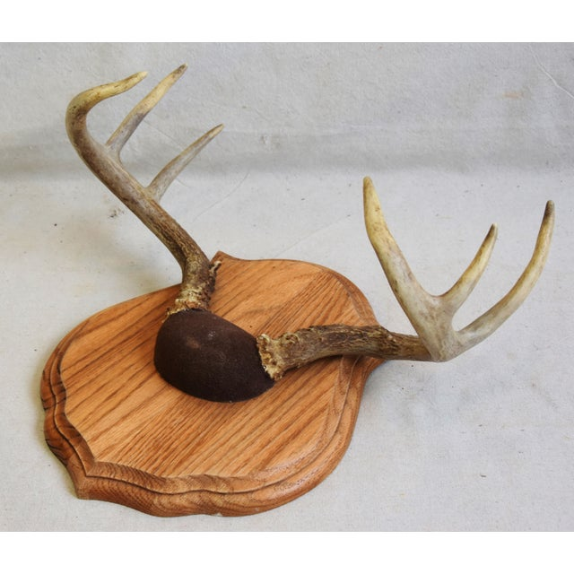 Vintage Mounted Trophy Antlers on Wood Plaque For Sale - Image 4 of 8