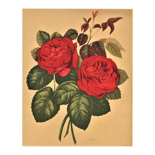 1880 Rose Botanical Chromolithograph - Image 1 of 4