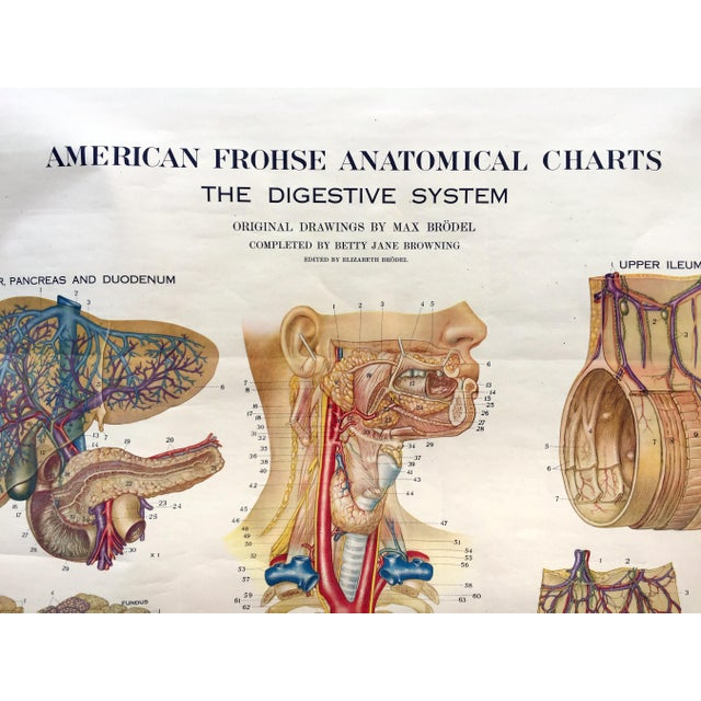 1947 Denoyer Geppert digestive system pull down anatomical chart. 41.5″×60″ image area. By artist Max Brodel. Retracts...