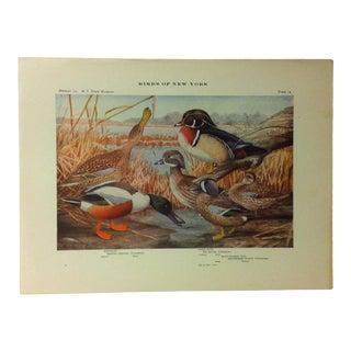 "1925 ""Shoveler - Wood Duck"" the State Museum Birds of New York Print For Sale"