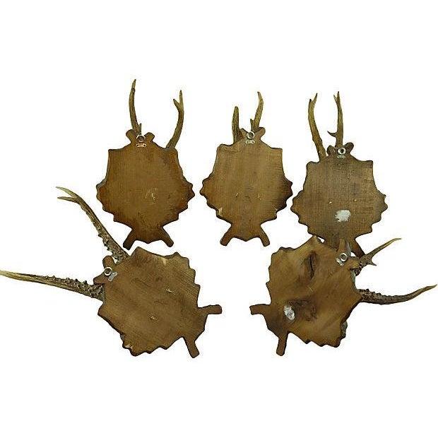 Antique Deer Antler Trophy Mount - Set of 5 - Image 6 of 6