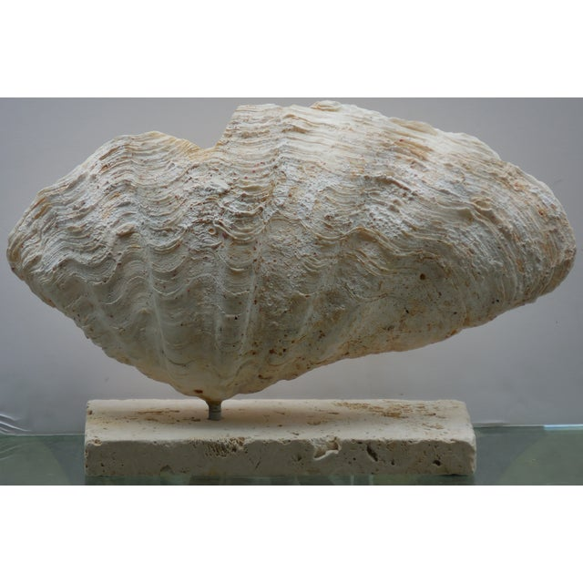 Natural Mounted Clam Shell - Image 7 of 11