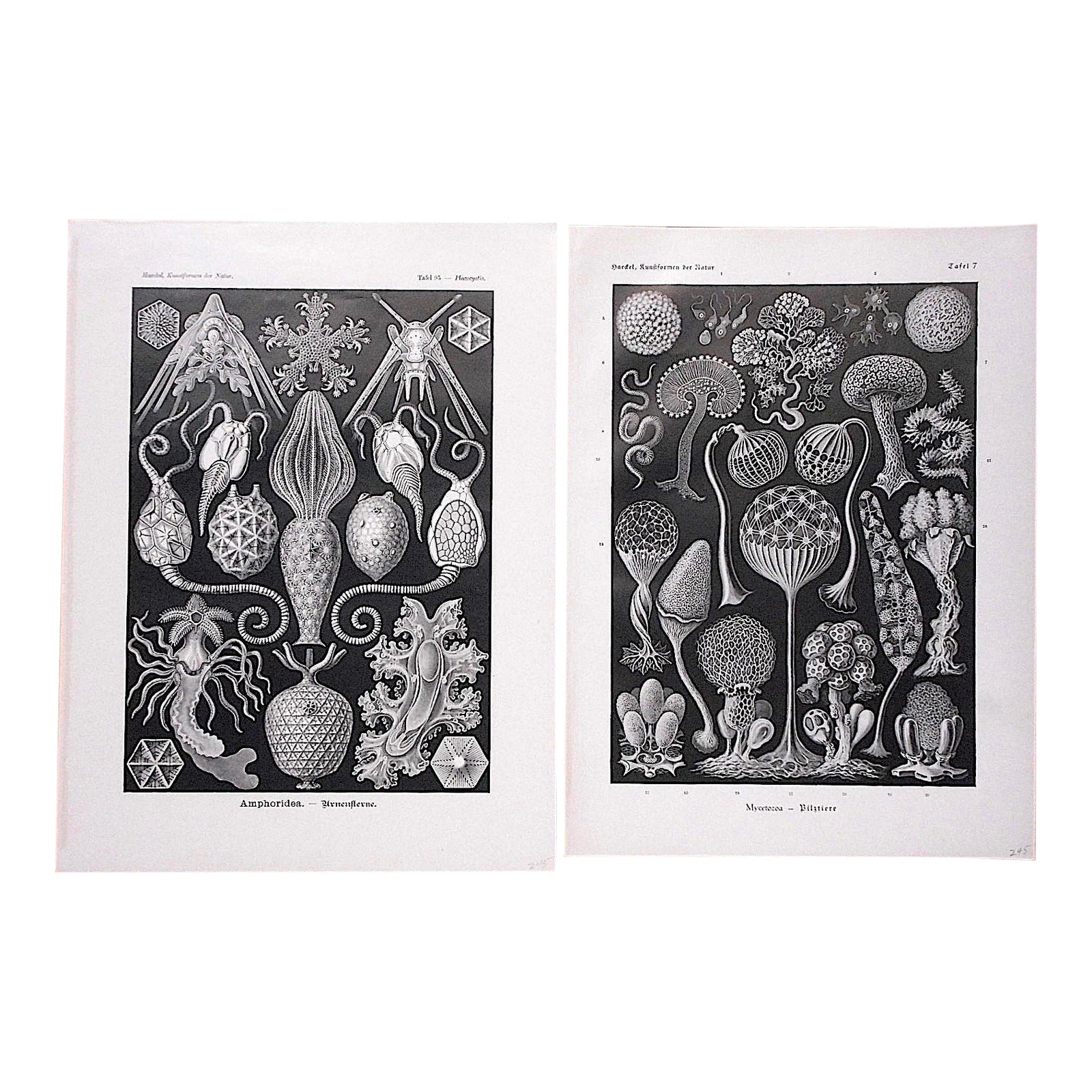 Design Salontafel Ligne Roset.Authentic Antique 19th C Lithographs Sea Creatures By Ernst