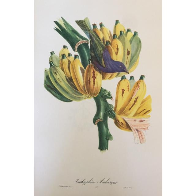 Lights 1st Edition Full Color Lithographs of Tropical American Birds - Set of 30 For Sale - Image 7 of 13