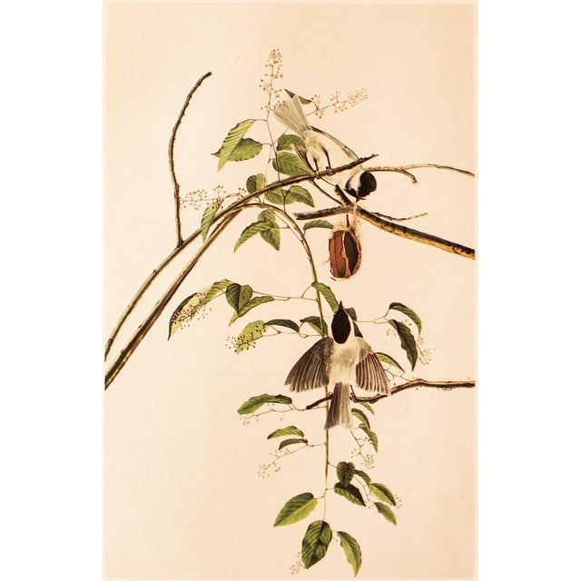 A very pretty large vintage reproduction of the original lithographic print of Carolina Titmouse or Carolina Chickadee by...