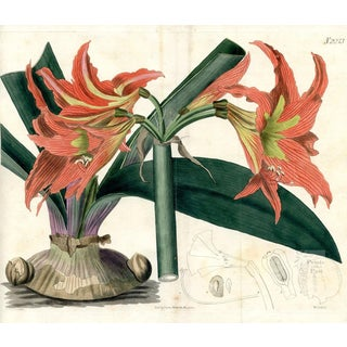 Knight's-Star Lily, 1821 Engraving For Sale