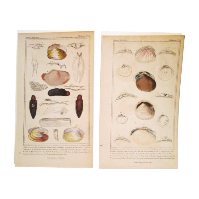 Shell Engravings, C. 1840 - Pair - Image 1 of 11