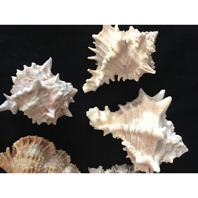 Pink Murex Shell Lot - Set of 8 Shells For Sale - Image 8 of 12